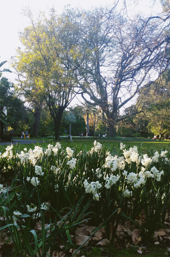 Daffodils in the Botanic Gardens, Melbourne